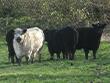 Vier Rinder der Rindergilde in Stausmark.